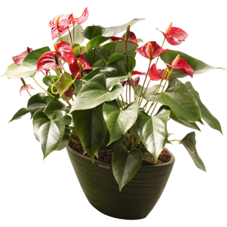 Anthurium - Plantes fleuries