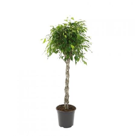 Ficus Torsadé - Plantes vertes