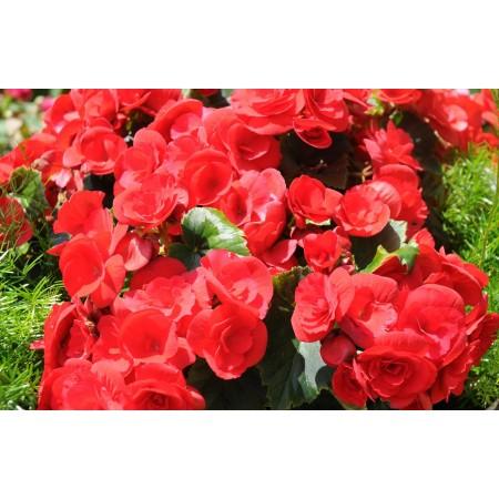 Bégonia - Plantes fleuries