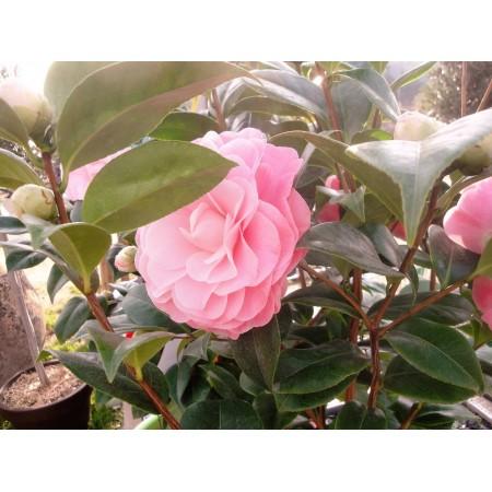 Camélia - Plantes fleuries
