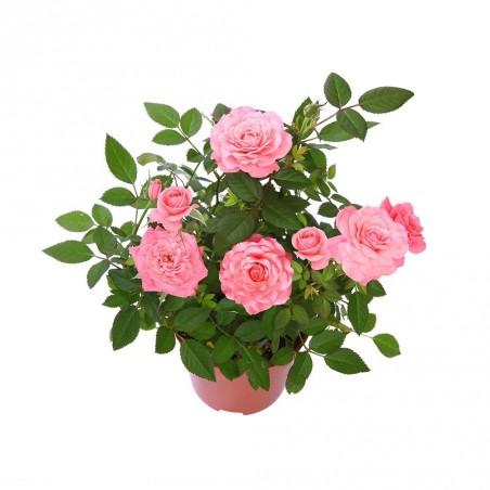 vasque de rosiers plantes fleuries. Black Bedroom Furniture Sets. Home Design Ideas