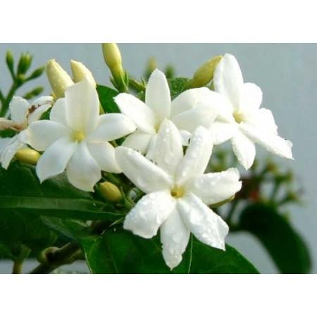 Vasque de jasmins - Plantes fleuries