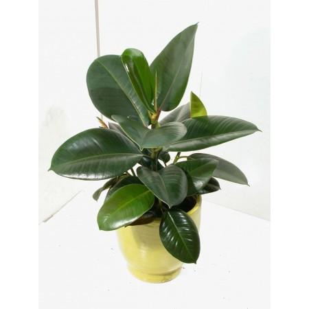 Caoutchouc (Ficus elastica) - Plantes d'intérieur dépolluantes