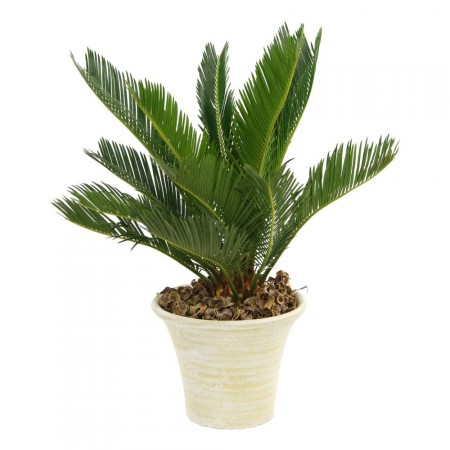 Cycas (Cycas revoluta) - Plantes d'intérieur dépolluantes