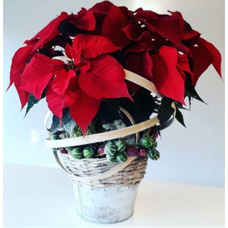 Poinsettia - Christmas spirit