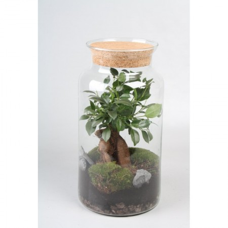 Terrarium with ficus bonsai - foliage plants and terrarium