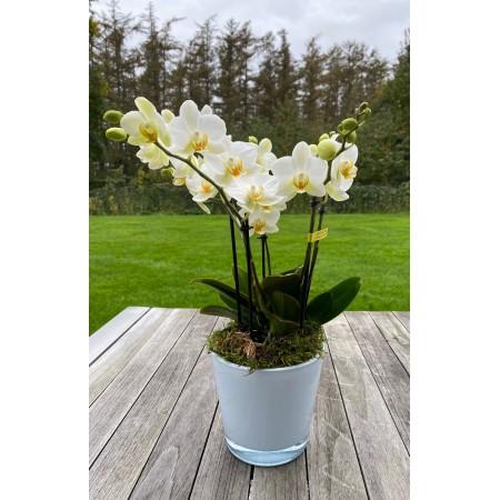 Orchidée Boguetto classique - Plantes fleuries