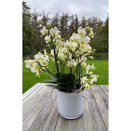 Orchidée Bellisimo classique - Plantes fleuries