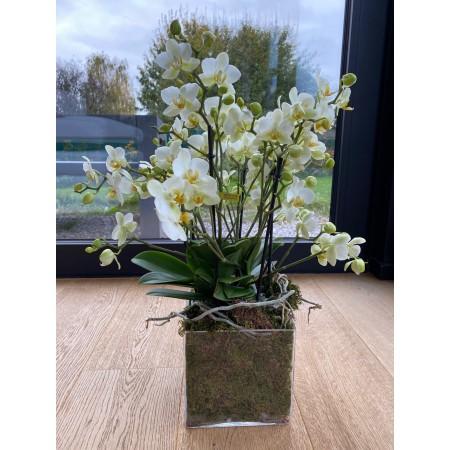 Orchidée Bellisimo moderne - Plantes fleuries