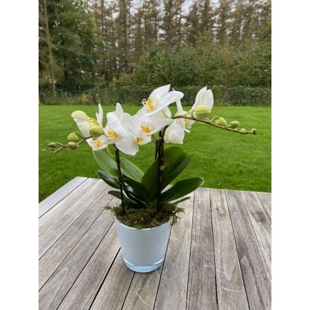 Orchidée Tablo classique - Plantes fleuries