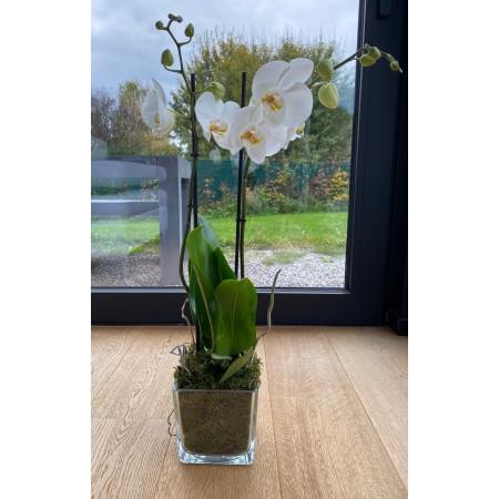 Orchidée Simplicimo moderne - Plantes fleuries