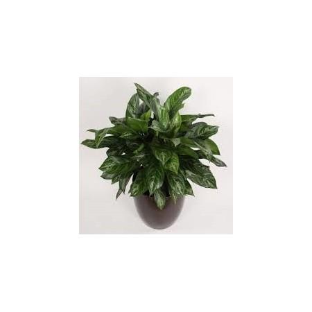 Aglaonéma (Aglaonema commutatum) - Plantes d'intérieur dépolluantes