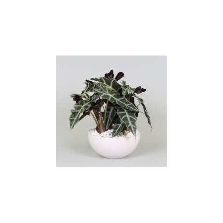 Alocasia (Alocasia polly) - Plantes d'intérieur dépolluantes