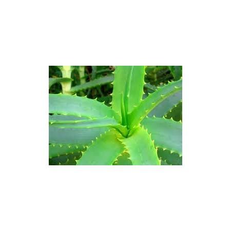 Aloès (Aloe vera) - Plantes d'intérieur dépolluantes
