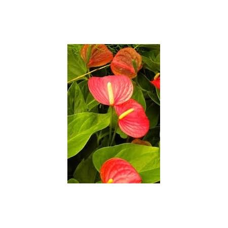 Anthurium (Anthurium andreanum) - Plantes d'intérieur dépolluantes