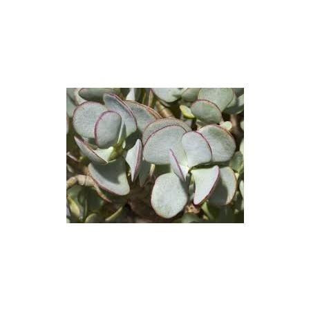 Arbre de Jade (Crassula arborescens) - Plantes d'intérieur dépolluantes
