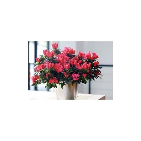 Azalée (Azalea indica) - Plantes d'intérieur dépolluantes