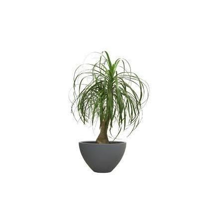 Beaucarnéa (Beaucarnea recurvata) - Plantes d'intérieur dépolluantes