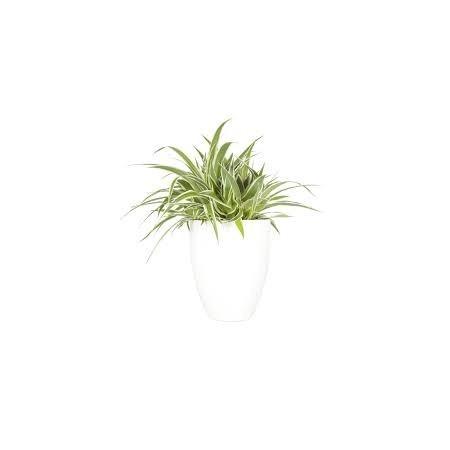 Chlorophytum (Chlorophytum comosum) - Plantes d'intérieur dépolluantes
