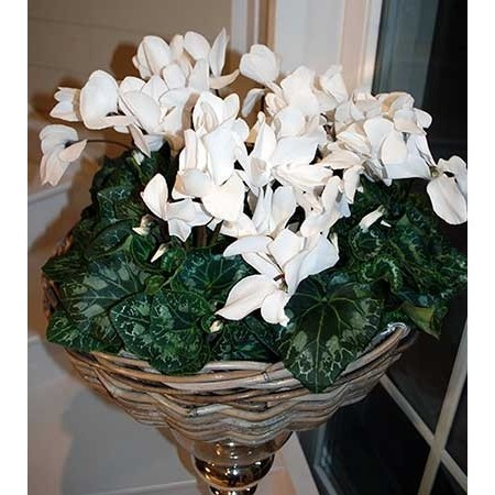 Vasque de Cyclamen - Plantes fleuries
