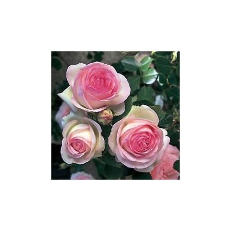 Vasque de rosiers - Plantes fleuries