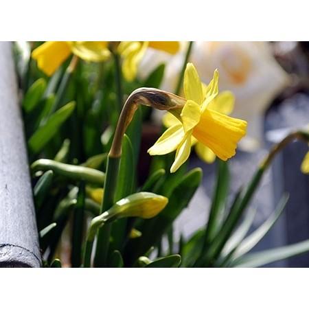 Vasque de Têtes-à-Têtes - Plantes fleuries
