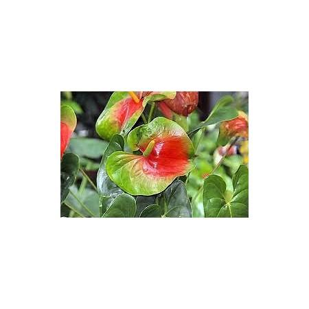 Anthurium - Plantes fleuries