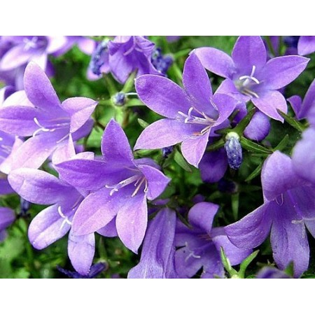 Vasque de campanules - Plantes fleuries