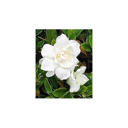 Gardénia - Plantes fleuries