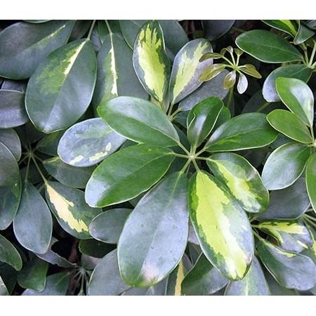 Schefflera - Plantes vertes