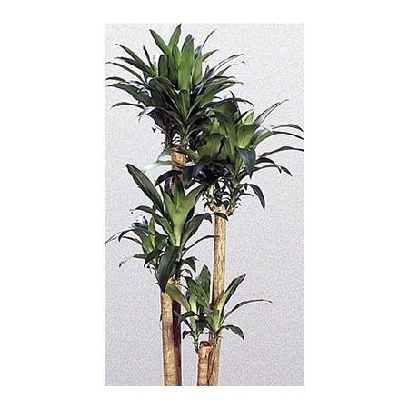 Dracaena - Plantes vertes