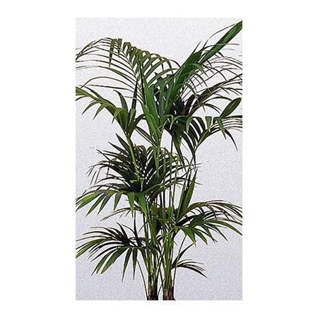 Kentia - Plantes vertes