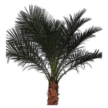 Phoenix - Plantes vertes