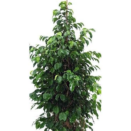 Ficus Benjamina - Plantes vertes