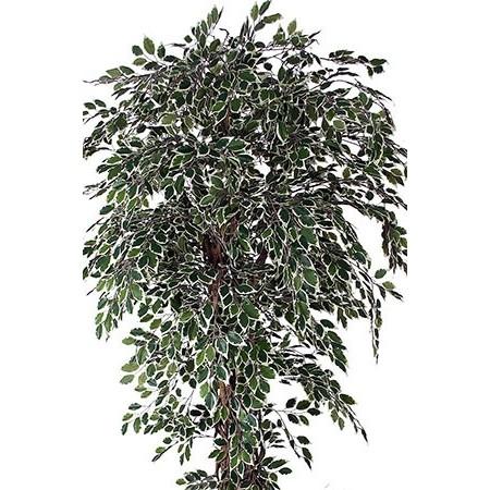 Ficus Hawaï - Plantes vertes
