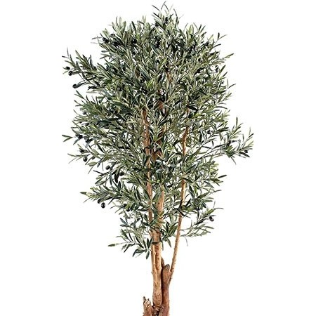 Olivier - Plantes vertes